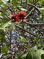 Erythrina corallodendrum raanana 01.jpg