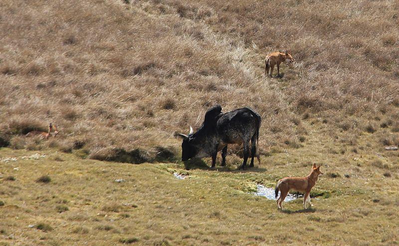 File:Ethiopian wolves & Zebu.jpg