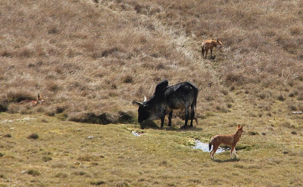 Ethiopian wolves & Zebu