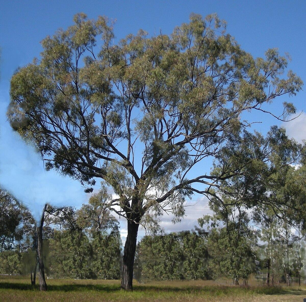 how to draw a eucalyptus tree