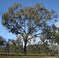 Eucalyptus crebra tree.jpg