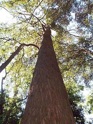 Eucalyptus fastigata - 45 metre tall brown barrel at Macquarie Pass National Park, Australia