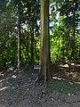 Eucalyptus tree in Costa Rica.jpg