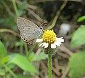 Euchrysops cnejus - Gram Blue 04.jpg