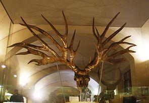 Geweih von Eucladoceros im Museo di Paleontologia in Florenz.