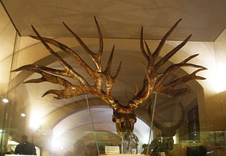 Quaternary extinction event - Eucladoceros cranium fossil, Museo di Paleontologia di Firenze