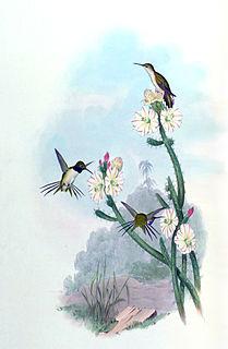 Chilean woodstar Species of bird