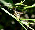 Euodynerus sp. Vespidae, Eumenidae. - Flickr - gailhampshire.jpg
