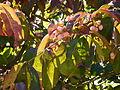 Euonymus grandiflorus-Jardin des plantes 02.JPG