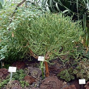 Blattlose Wolfsmilch im Botanischen Garten Potsdam.