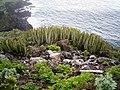Euphorbia canariensis (Punta cumplida) 02.jpg