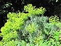 Euphorbia characias (Serres de la Madone).jpg