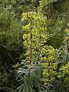 Euphorbia characias (habitus).jpg
