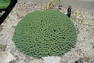 <i>Euphorbia clavarioides</i> species of plant in the family Euphorbiaceae