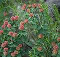 Euphorbia fragifera 1.jpg