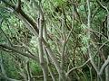 Euphorbia regis-jubae (Cueva del Belmaco) 02.jpg