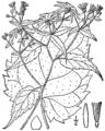 Eurybia divaricata BB-1913-4.png