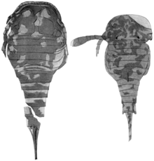 A photograph of two specimens of O. kokomoensis from the Kokomo waterlime, seen from above