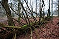 Even when dead is this Firtree still very impressive - panoramio.jpg