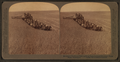 Evolution of the sickle and flail, 33 horse team combined harvester, Walla Walla, Washington, from Robert N. Dennis collection of stereoscopic views 2.png