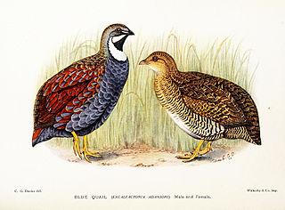 Blue quail Species of bird