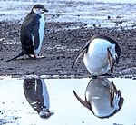 """Excursion No. 12. into the old caldera of Deception Island.Chinstrap Penguins (Pygoscelis antarcticus).' for Pete's sake, will you stop checking yourself out every five seconds.you're so vain.!"""". (25894849172).jpg"""