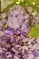 Fabales - Wisteria sinensis - 3.jpg