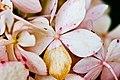 Fading pink flowers (Unsplash).jpg