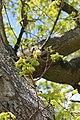 Fagales - Quercus robur - 007.jpg