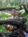 Fallen tree bridging beaulieu river.jpg