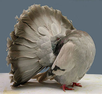 Fancy pigeon - A Fantail attempting to make itself appear larger