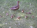 Female mallard with ducklings.jpg