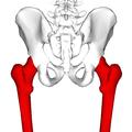 Femur - posterior view4.png