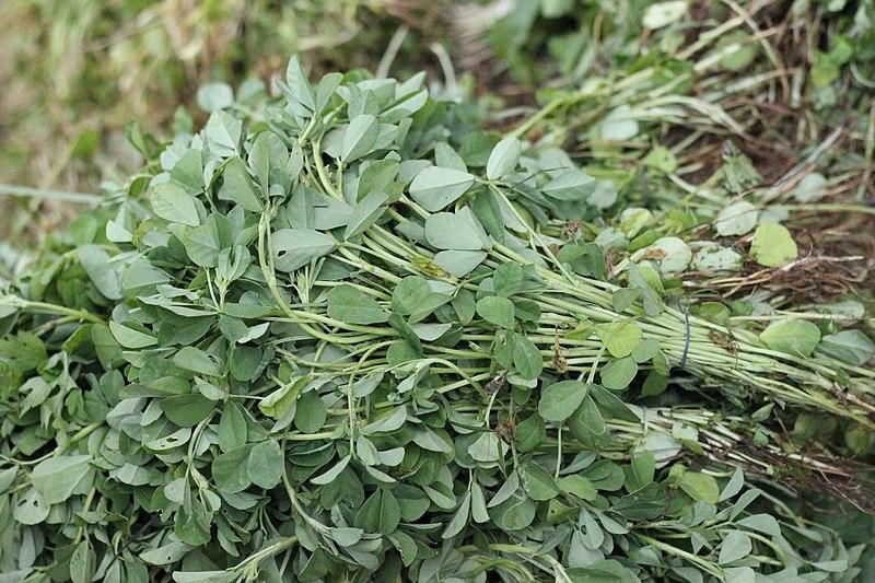 File:Fenugreek leafs.JPG