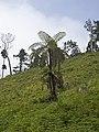Fern tree in Mata Jardim José do Canto 1.jpg