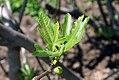 Ficus carica 11zz.jpg