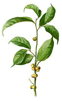 Ficus heteropleura Blanco2.255-cropped