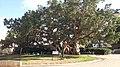 Ficus sycomorus-Netanya.jpg