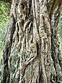 Ficus trunk.jpg