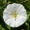Field Bindweed (Convolvulus arvensis) - Guelph, Ontario.jpg