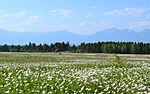 Field of flowers, Arshan (2).JPG