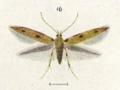 Fig 19. Circoxena ditrocha.png