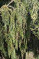 File-Callitropsis nootkatensis Pendula foliage.JPG