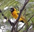 Finch, Dimma, Ethiopia (10065946246), crop.jpg