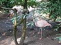 Flamants du Chili (Phoenicopterus chilensis) (4).jpg