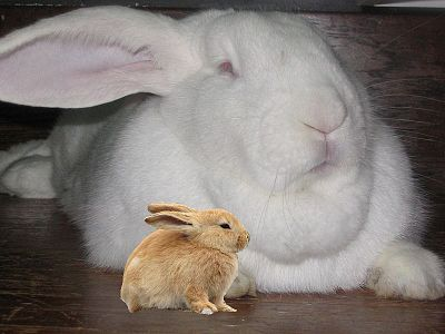 Flemish Giant Rabbit plus Bunny in zoo.jpg