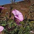 Fleur capturé à l'ancienne ville de Rabat Maroc.jpg