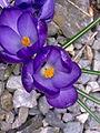 Fleurs de Crocus à Grez-Doiceau 003.jpg