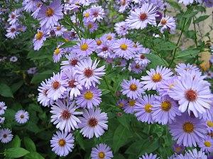 fleurs de jardin, Aster