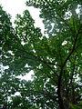 Flickr - brewbooks - Cannonball Tree (Couroupita guianensis).jpg